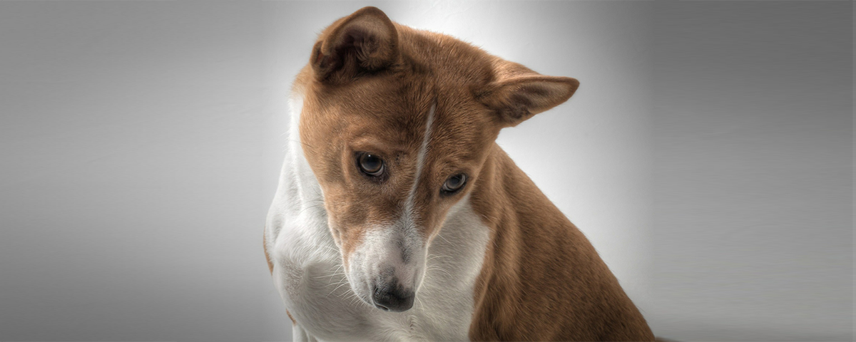 What You Need To Know About Your Basenji Mix Embark