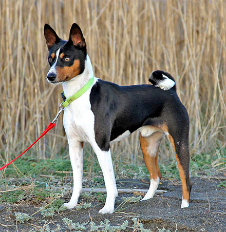 What you need to know about your Basenji Mix | Embark