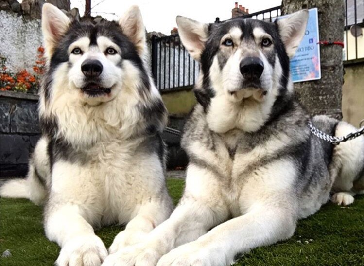 Game of Thrones' Direwolves Take Embark dog DNA test