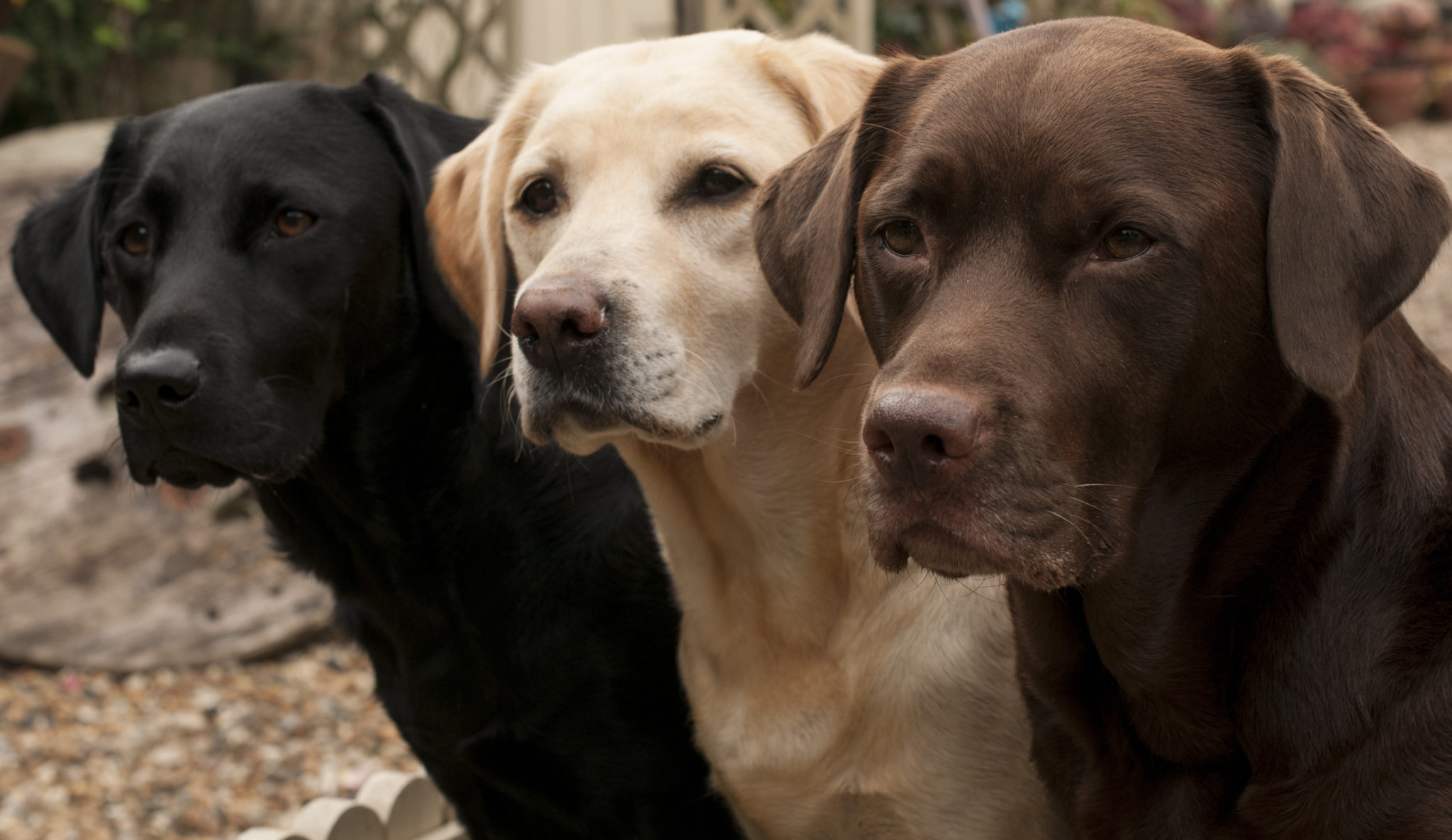 a guide to labrador retrievers embark labrador retrievers