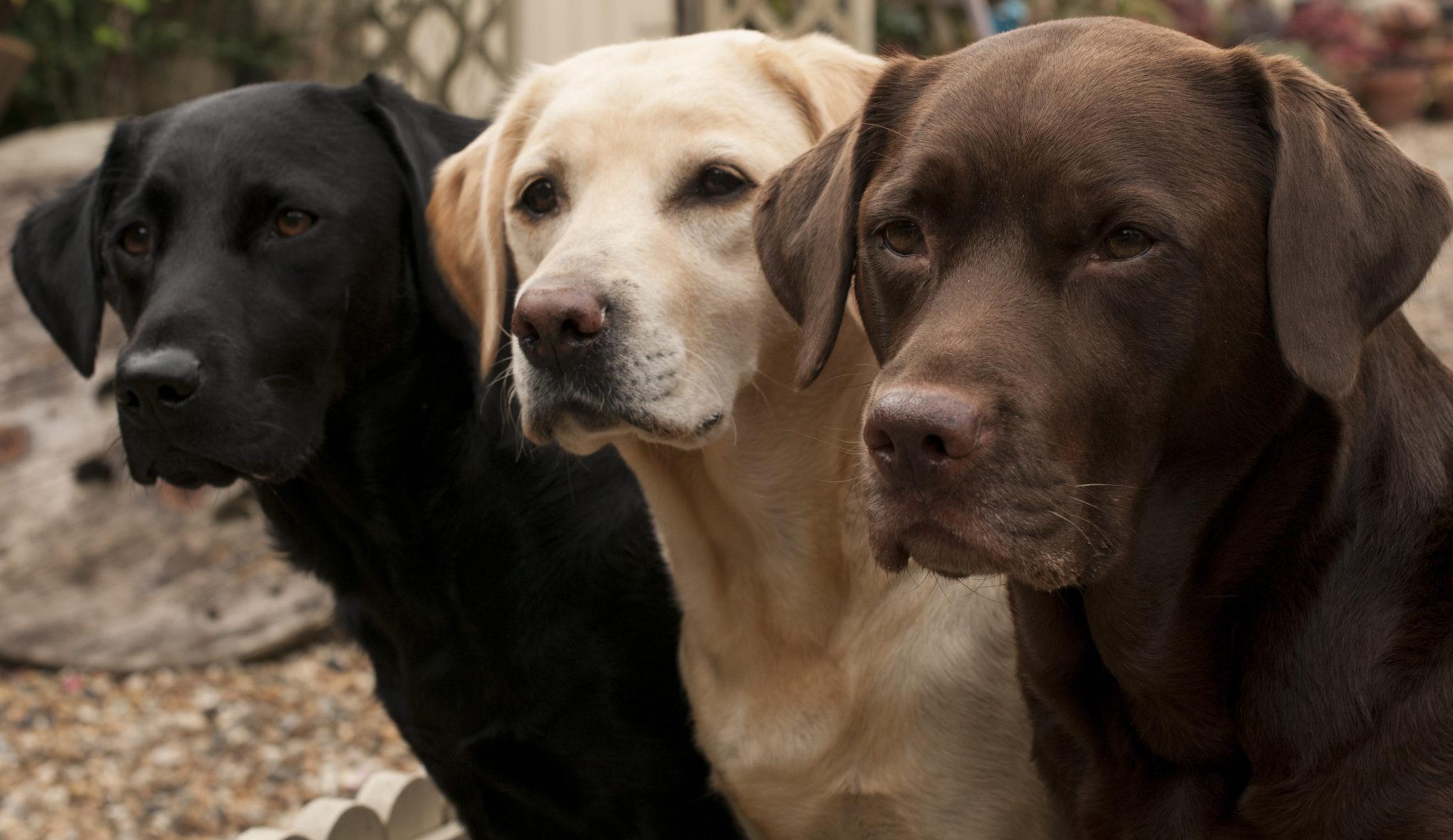 A Guide To Labrador Retrievers Embark
