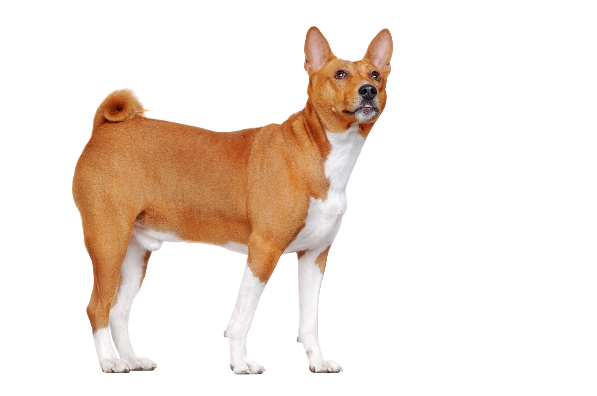 Your Guide To Basenjis