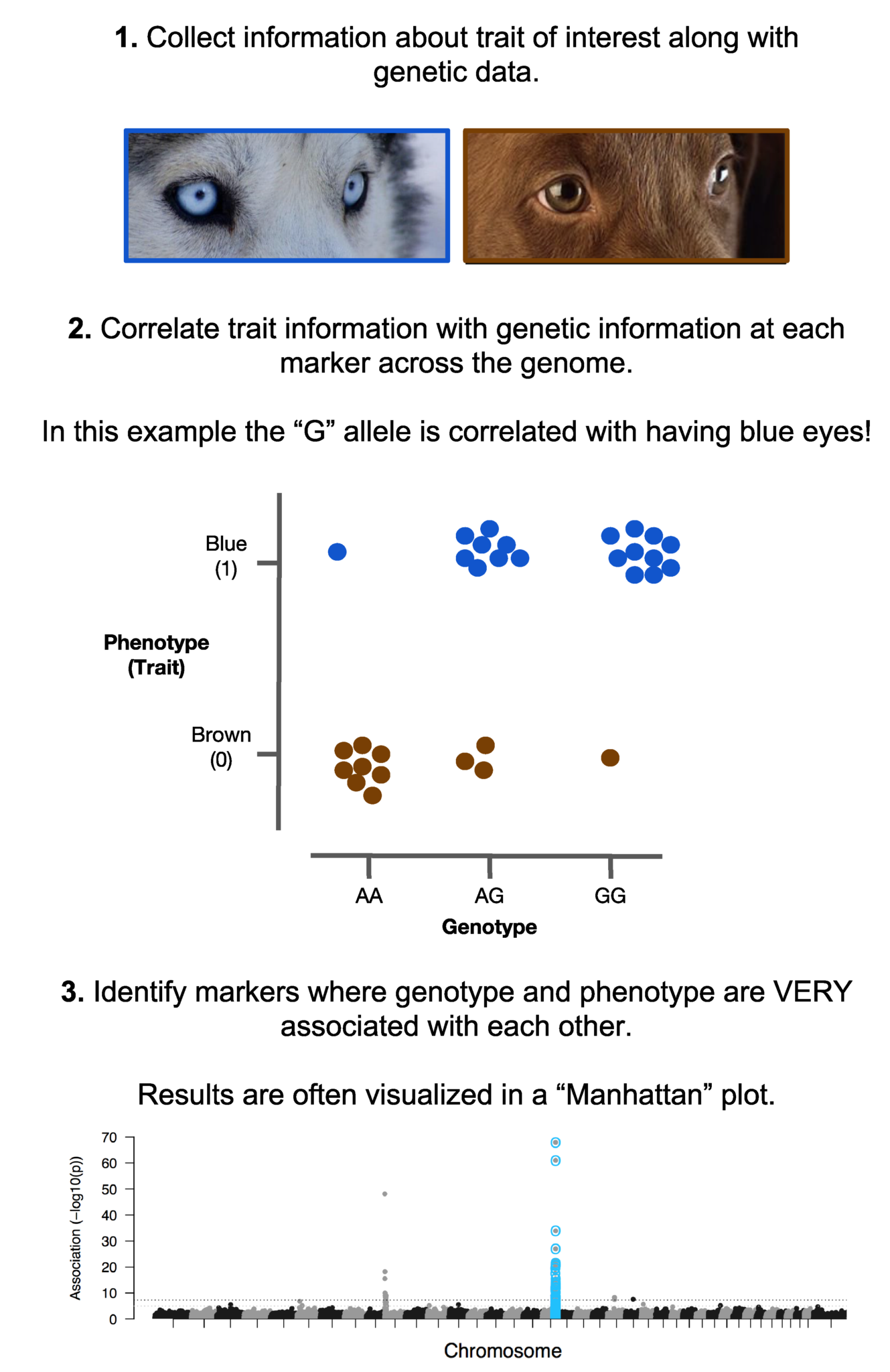 How does GWAS work?