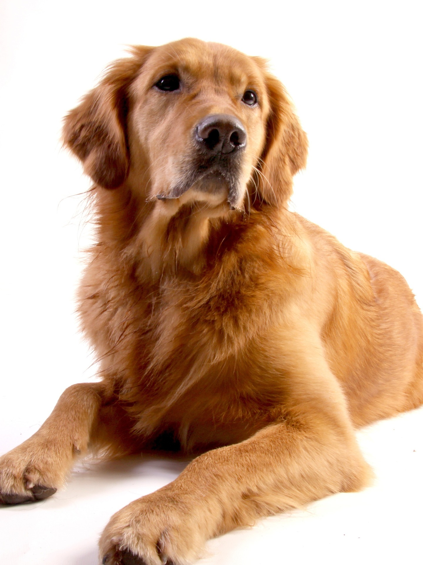 embark guide golden retrievers 1