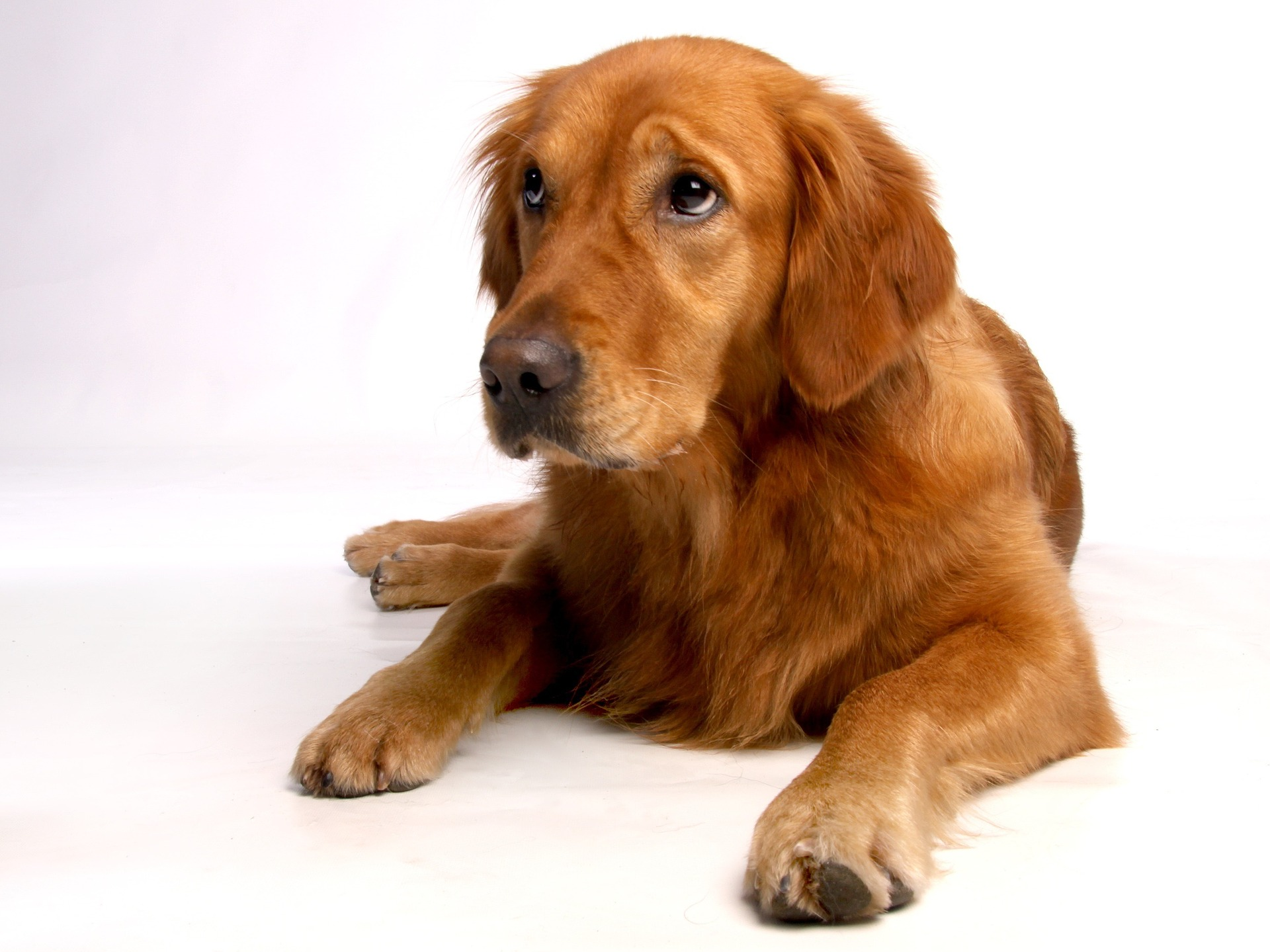 embark breed guide golden retrievers 2