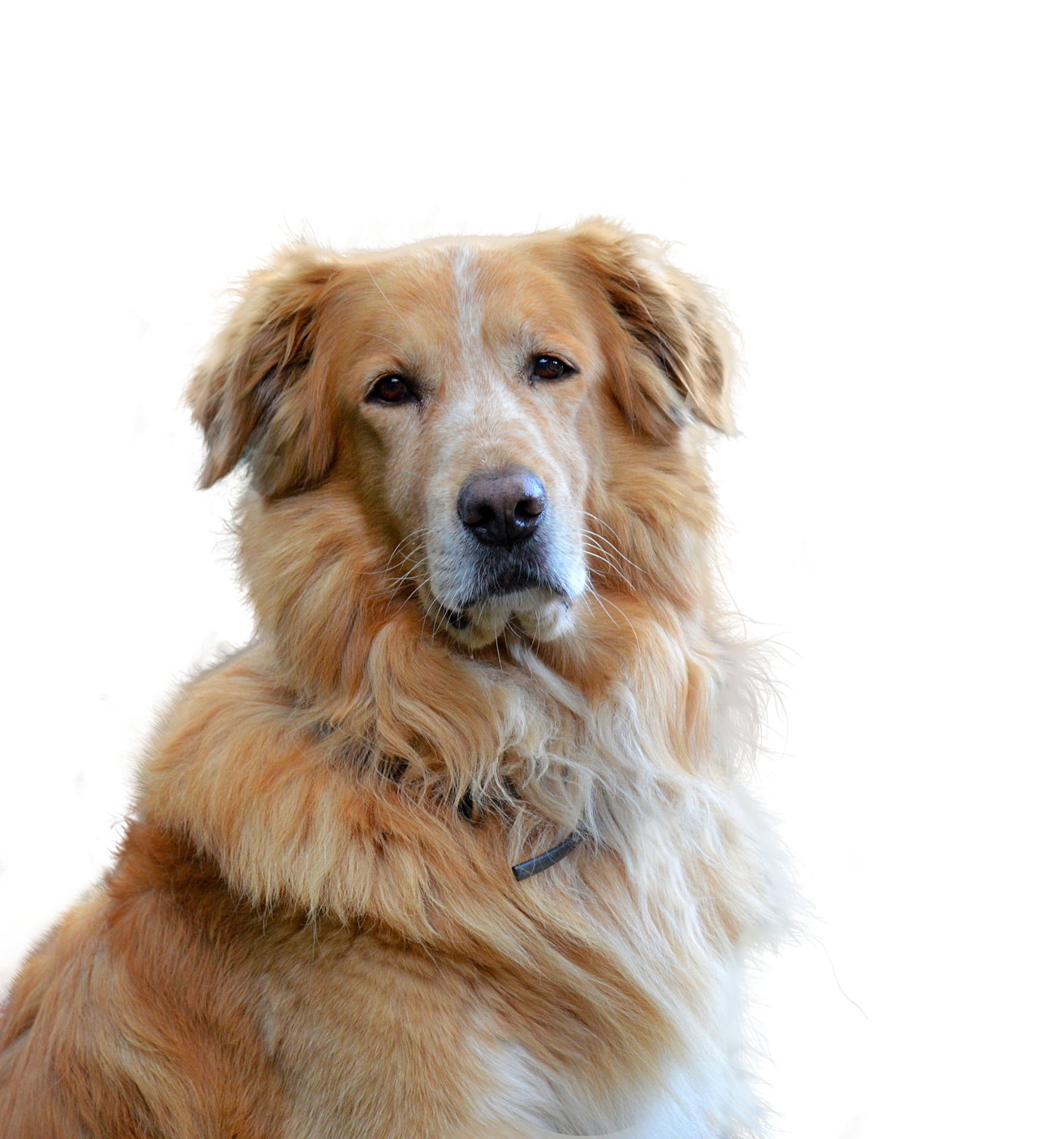 A Guide to Golden Retrievers - Embarkvet