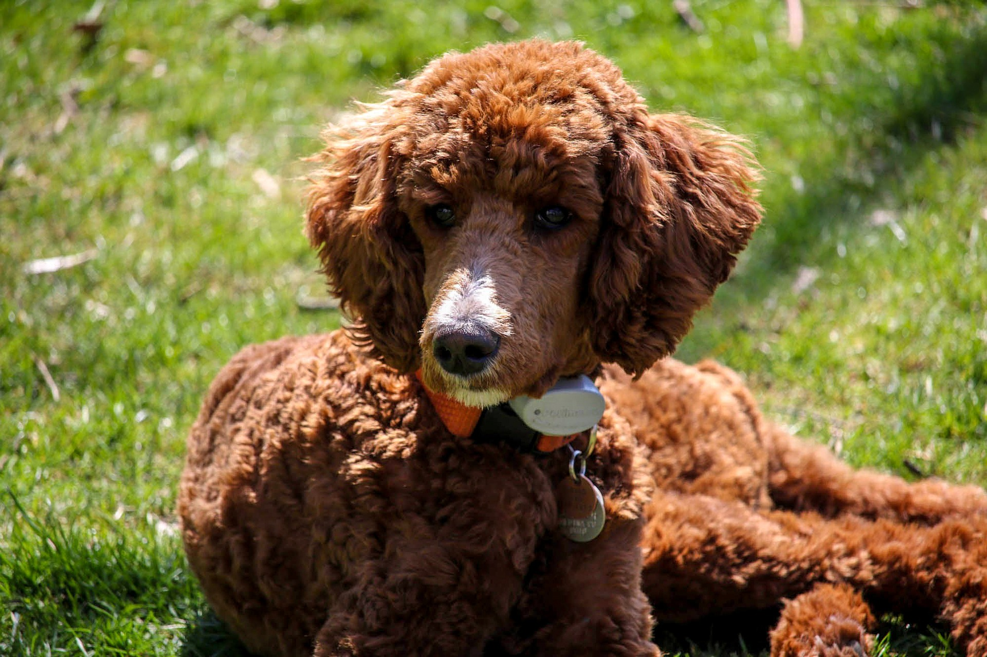 embark poodle guide 2