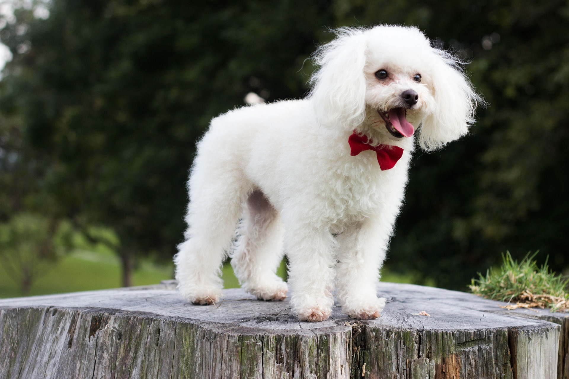 embark poodle guide 3