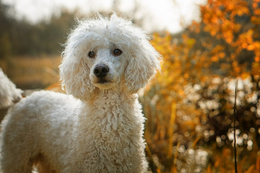 poodle in woods