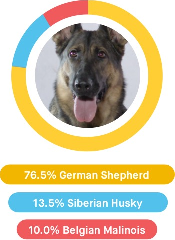 Kira is 76.5% German Shepherd, 13.5% Siberian Husky, and 100.0% Belgian Malinois