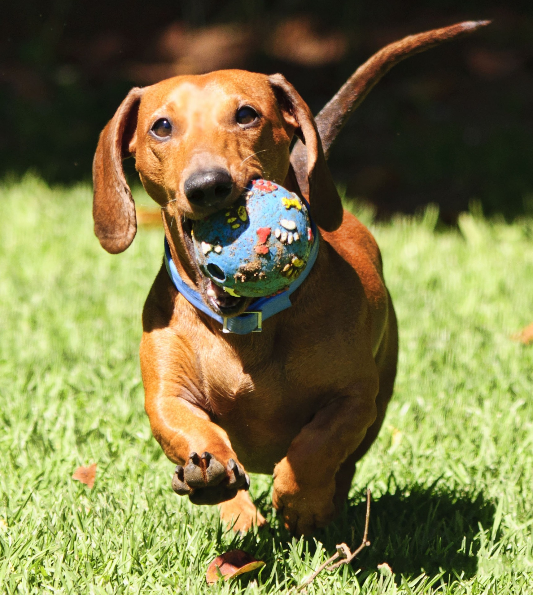 embark dachshund guide 3