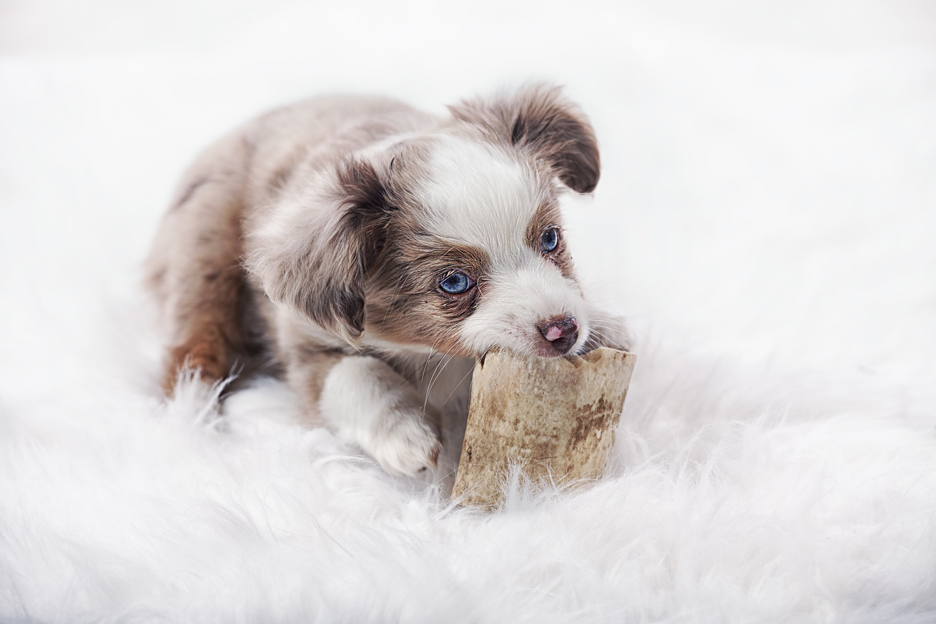 embark-breed guide-australian shepherd