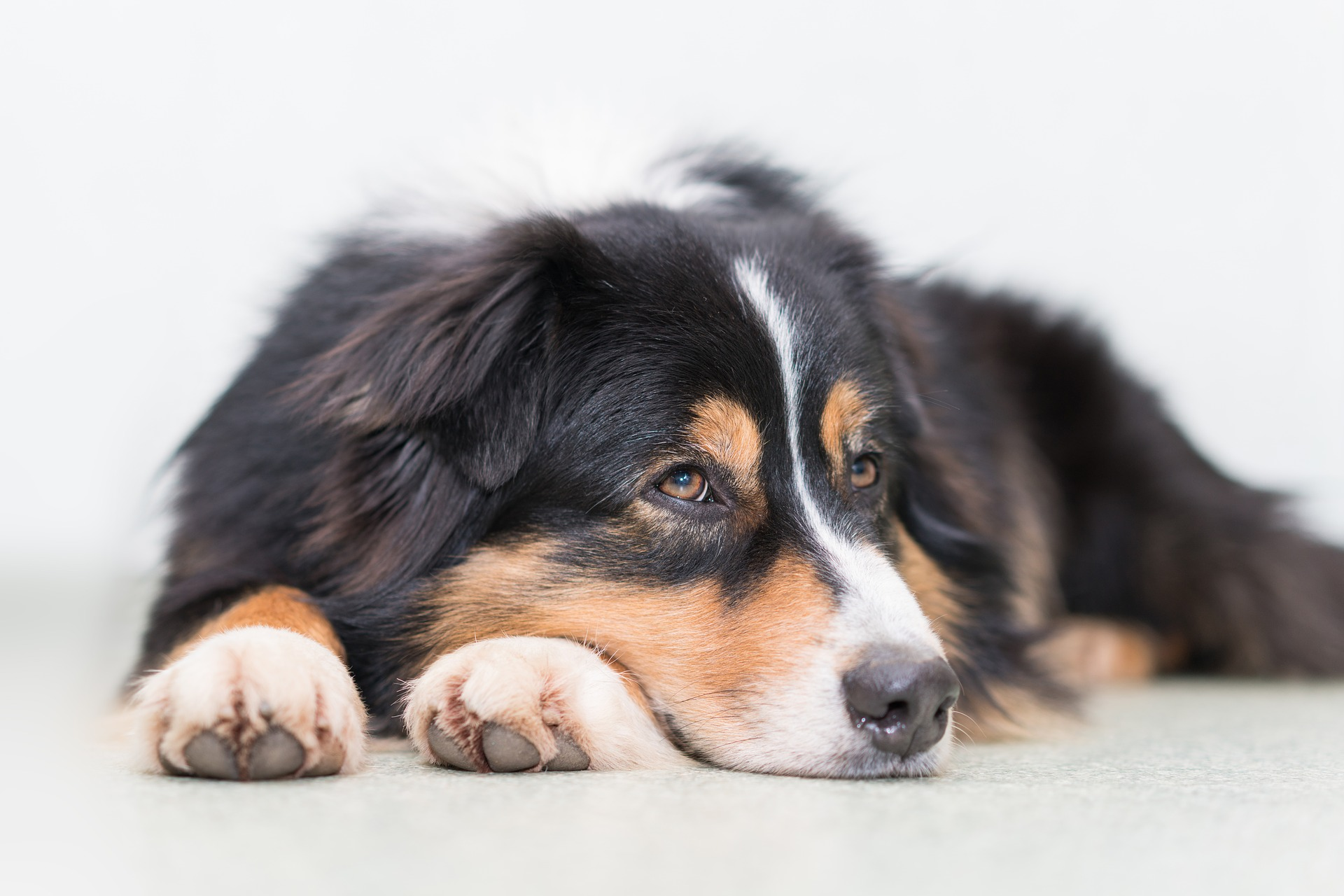 embark-breed guide-aussie
