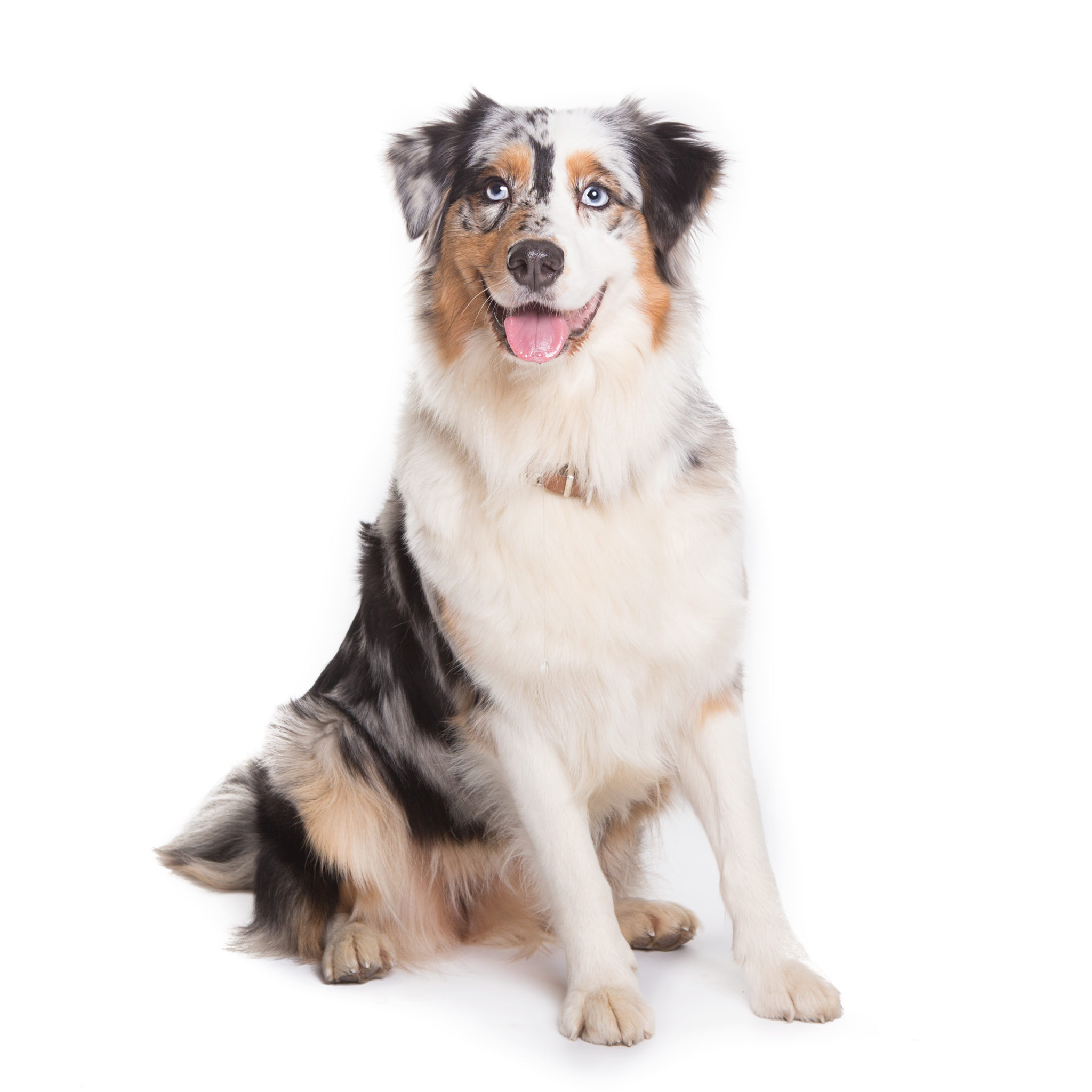 embark breed guide aussies