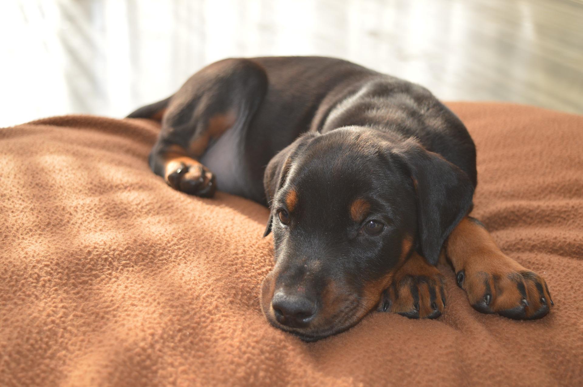 embark guide to doberman pinschers puppy