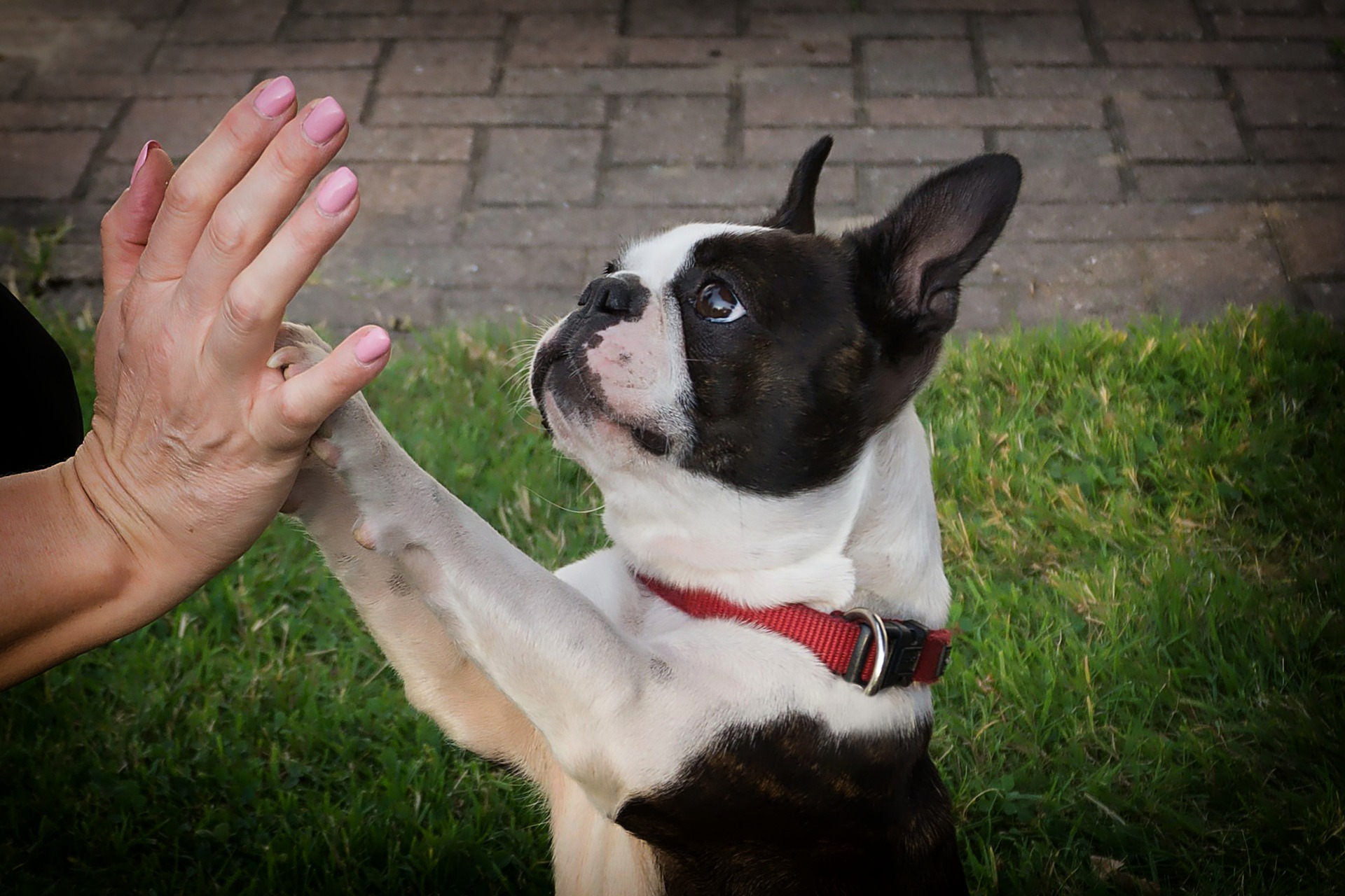 embark boston terrier paws up