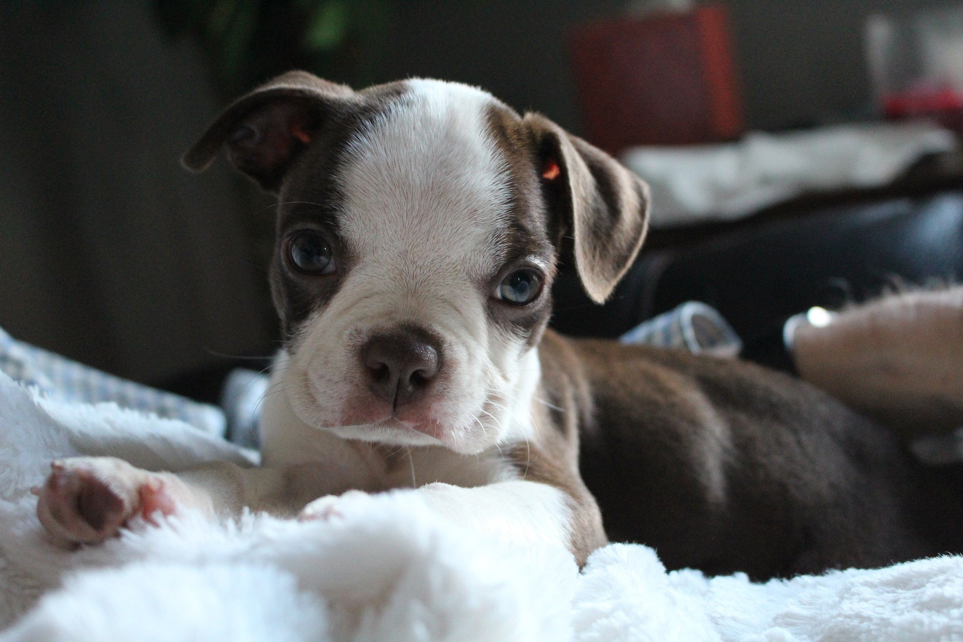 embark boston terrier puppy