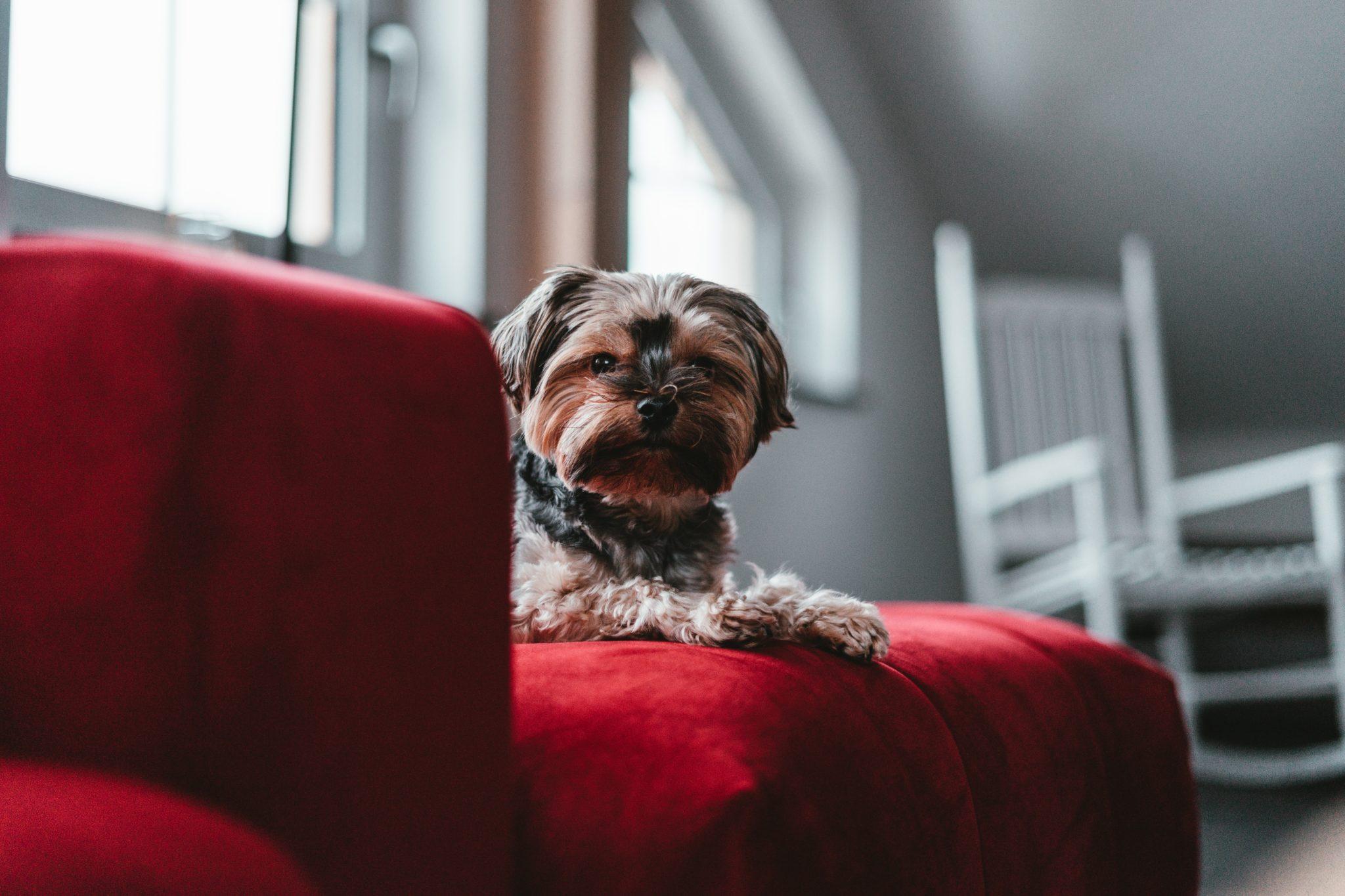 embark dog red sofa
