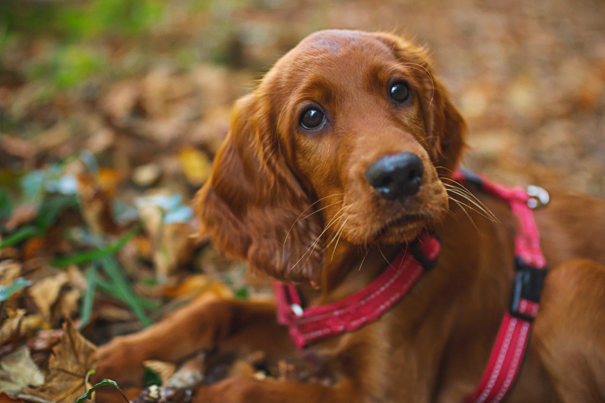 embark short coated dog