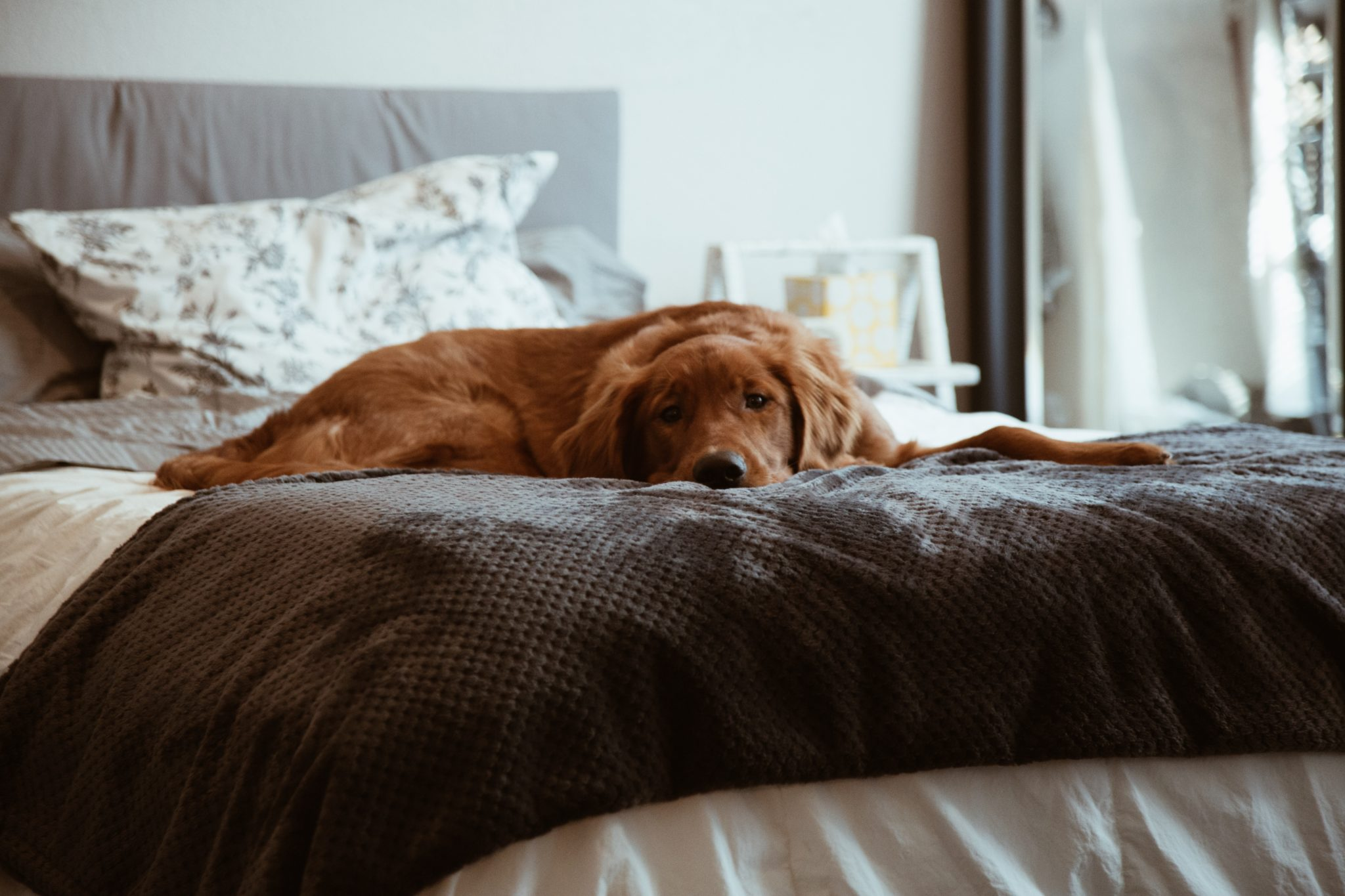 copper dog in bed