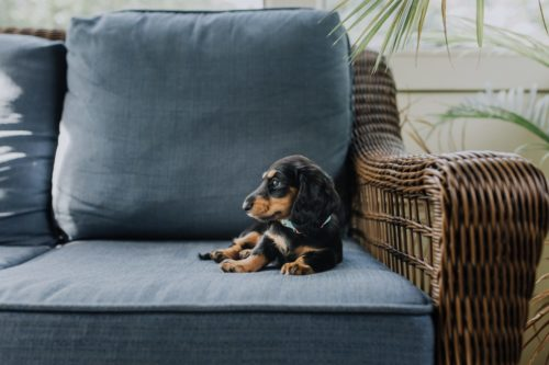 embark dog blue couch