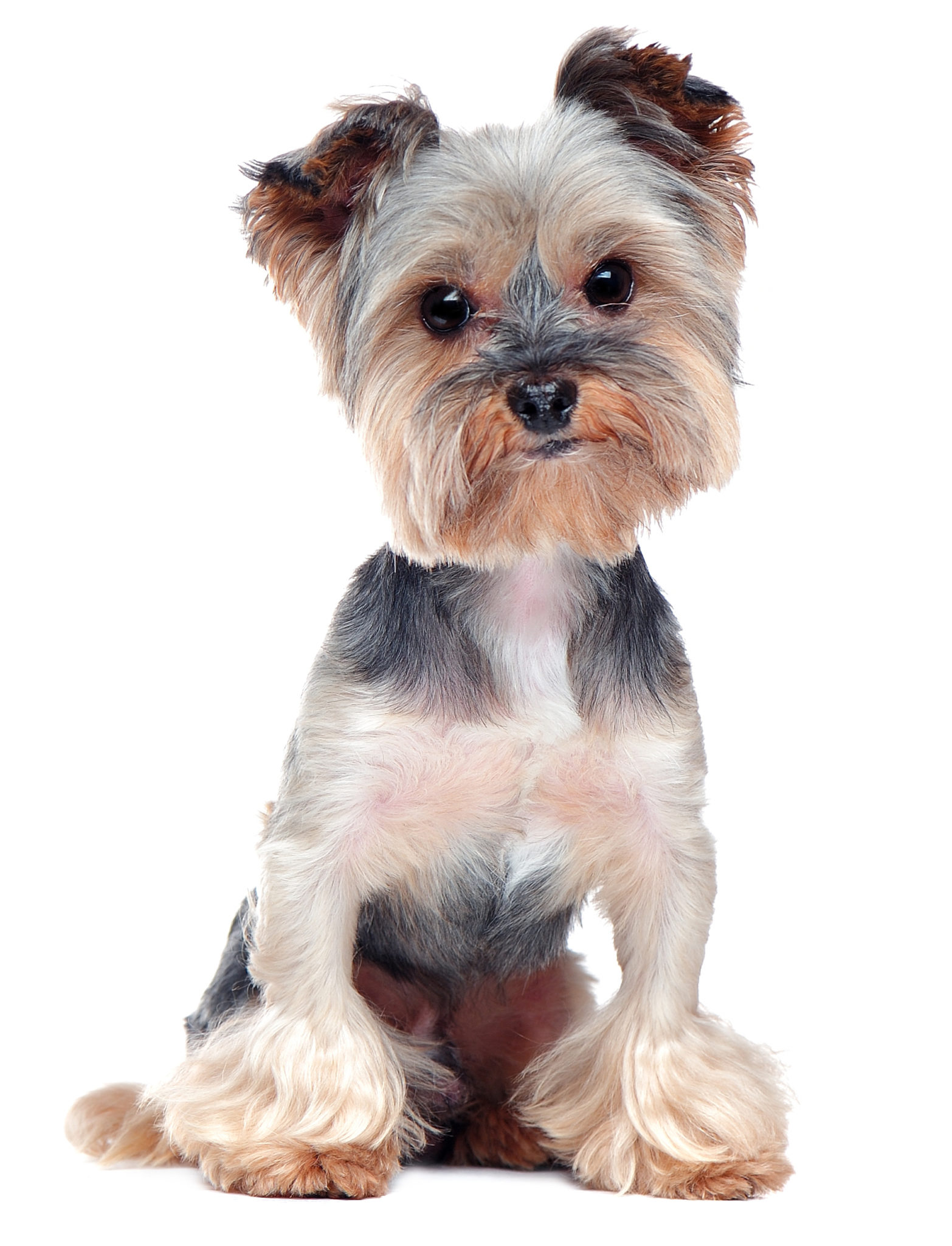 embark yorkshire terrier grey