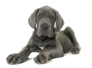greatdane-puppy