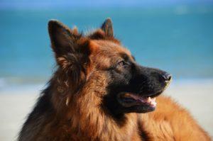 GSD_dog_beach