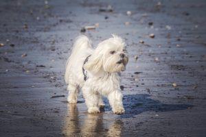 maltese-dog_beach