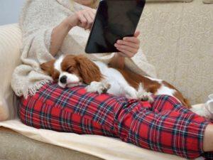 cavalier king charles spaniel lap dog
