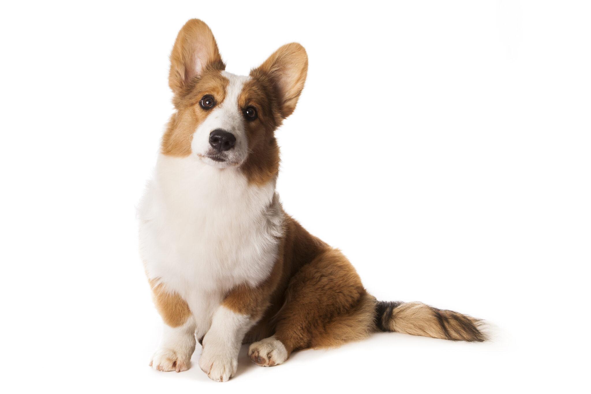 Cardigan Welsh Corgis: Dog breed info, photos, common ...