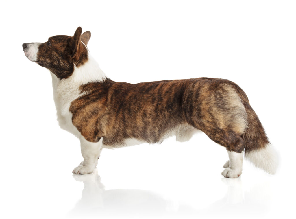 cardigan welsh corgi from the side