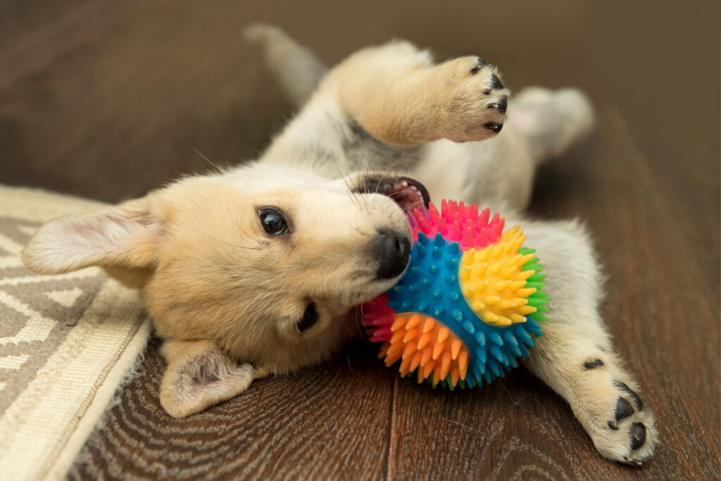 Puppy laying on floor chewing toy