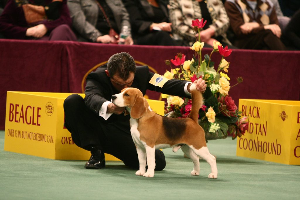Uno the Westminster Champion Beagle