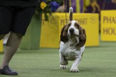 embark-westminster-basset-hound