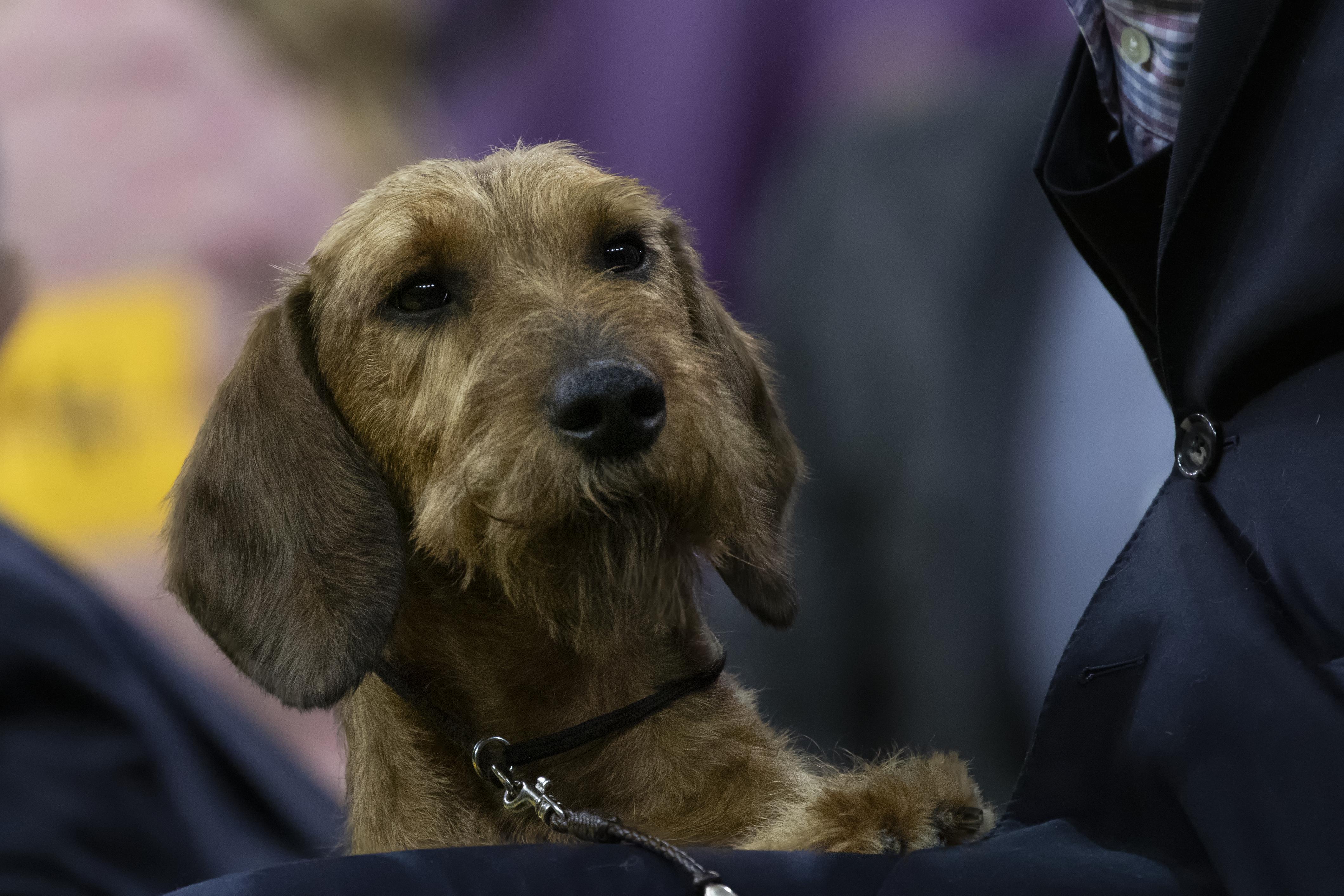 embark-westminster-wirehaird-dachshund