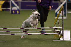 embark-westminster-bulldog-2