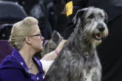 embark-westminster-irish-wolfhound