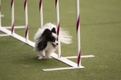 embark-westminster-papillon